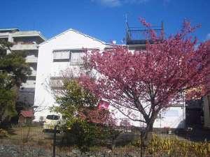 土肥桜が満開です