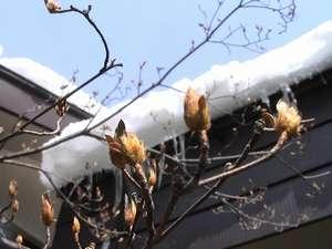 芽吹きは雪の中に