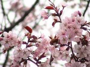 桜、白骨温泉
