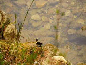 梓川のほとりで巣作りするツバメ