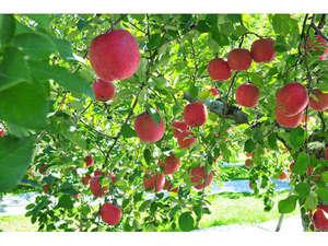 松本から白骨に伸びる国道では、りんごが実り始めています(産直販売しているようです)