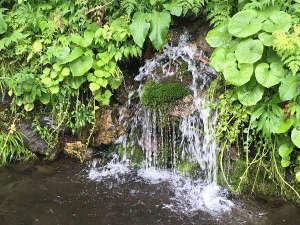 自生する天然わさびから清流が流れ落ちる玄関前の水場