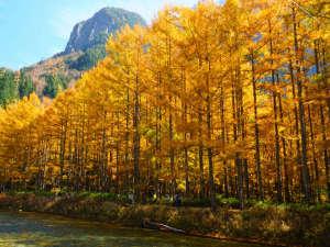 上高地のカラマツ黄葉