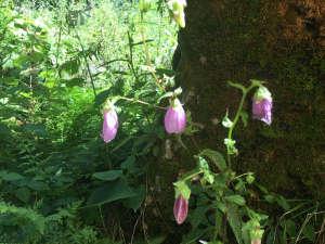 「えびすや」への道には、ホタルブクロなど山野草が咲いています。