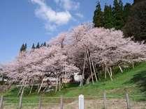 樹齢1100年のエドヒガンザクラ「臥龍桜」。4月下旬~5月上旬が見ごろ!