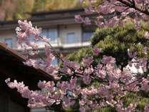 玉樟園桜は上品なな淡いピンクの花です
