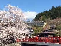 中橋から桜越しに見る当館(中央)桜の開花は例年4月中旬頃です